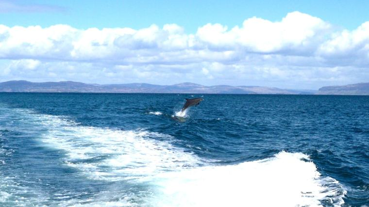 dolphin leaping - iona