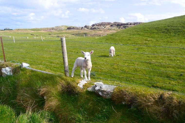 lambs - Iona